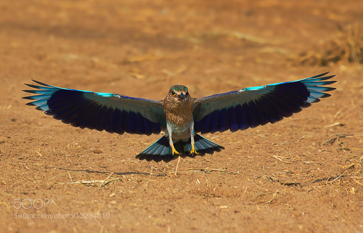 Photograph Indian Roller by Nisha  on 500px