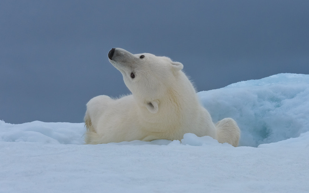Photograph  Stretching Polar Bear by Mike Reyfman on 500px