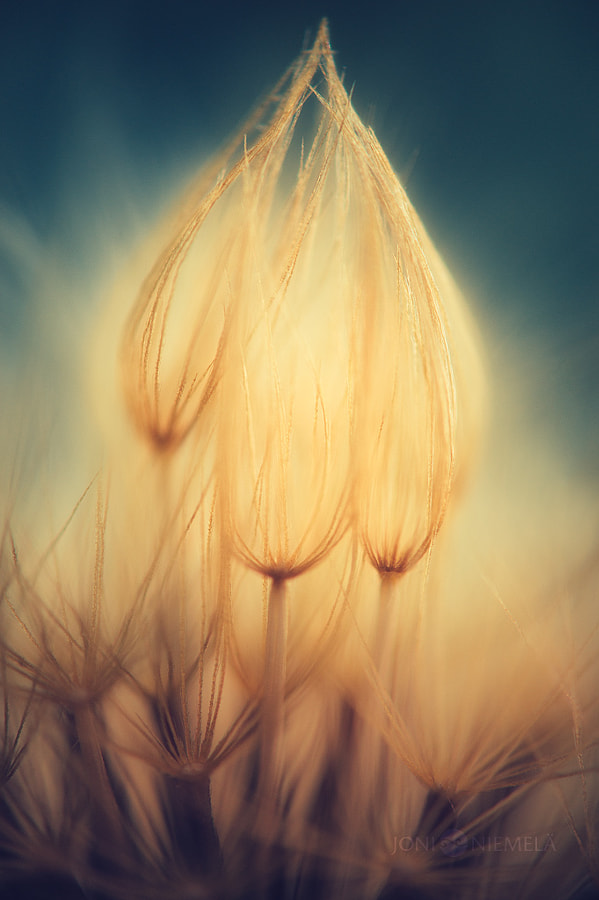 Golden Seeds by Joni Niemelä on 500px.com