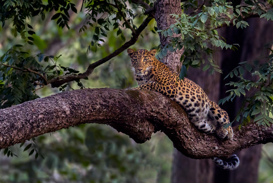 Photograph Leopard Siesta by Vishwa Kiran on 500px