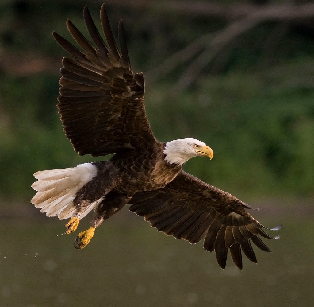 Photograph Bald Eagle by Phil Armishaw on 500px