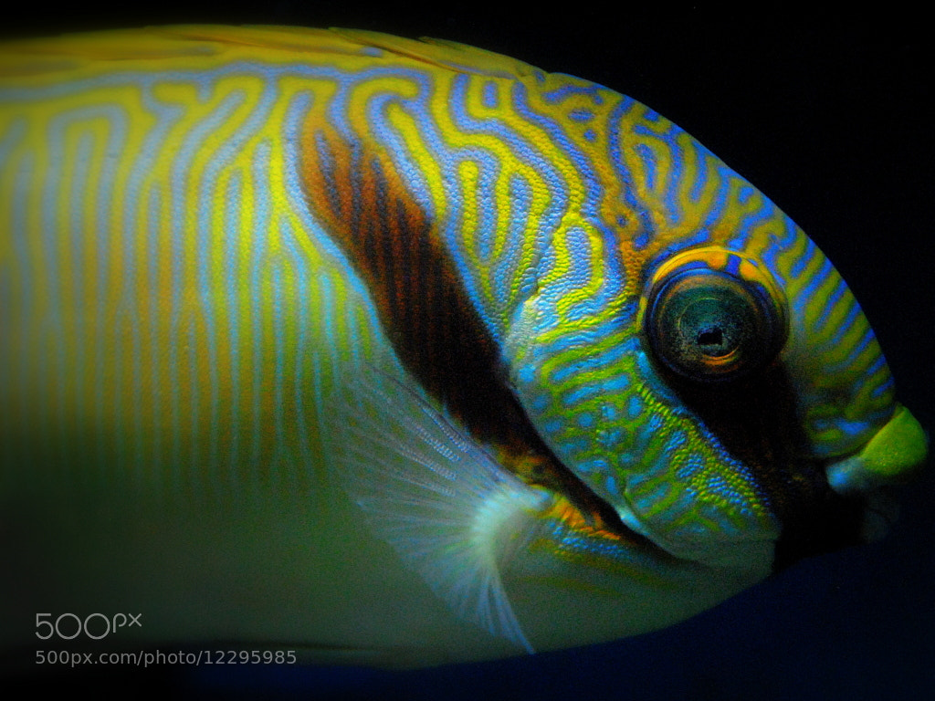 Photograph yellow and blue saltwater fish by sarah on 500px for Blue saltwater fish