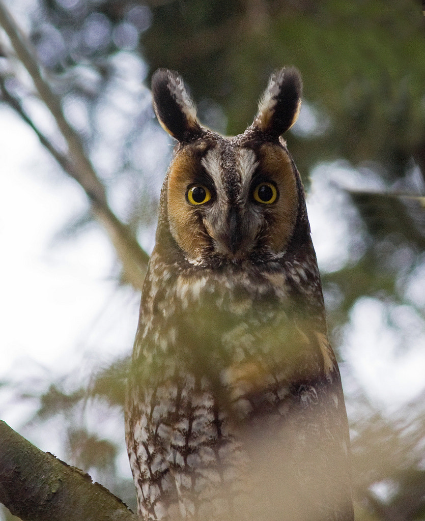 Photograph Long-Eared Owl by Phil Armishaw on 500px