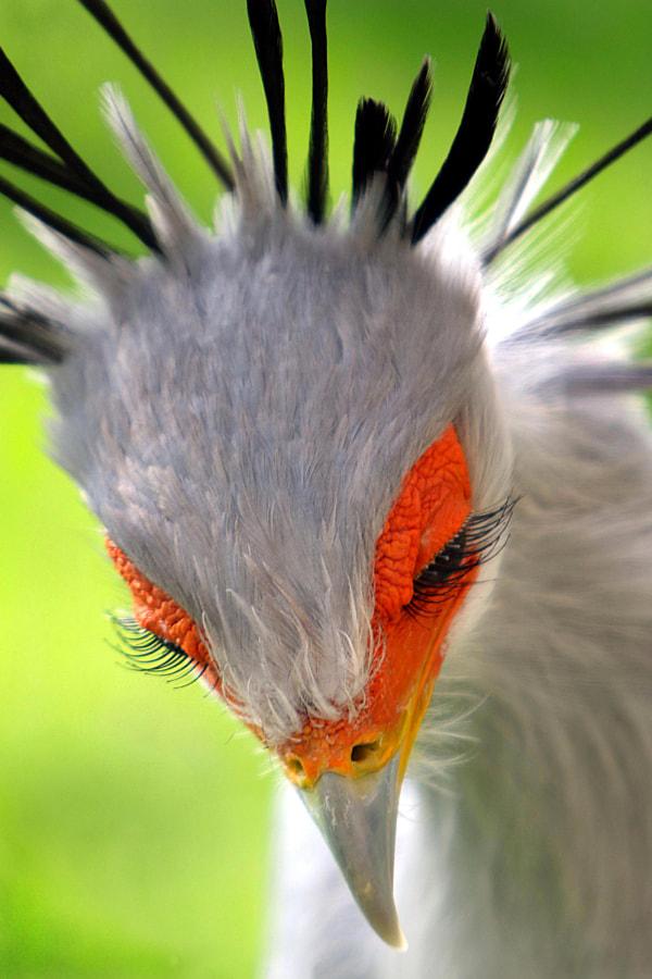 Some eyelashes (secretary bird) by Rudi Luyten on 500px.com