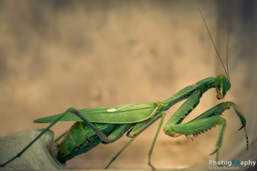 Praying mantis female during spawning