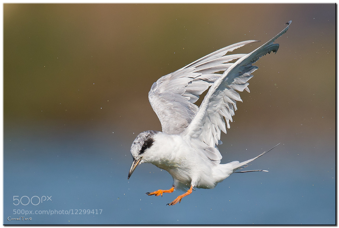 Photograph Forster's Tern by Conrad Tan on 500px