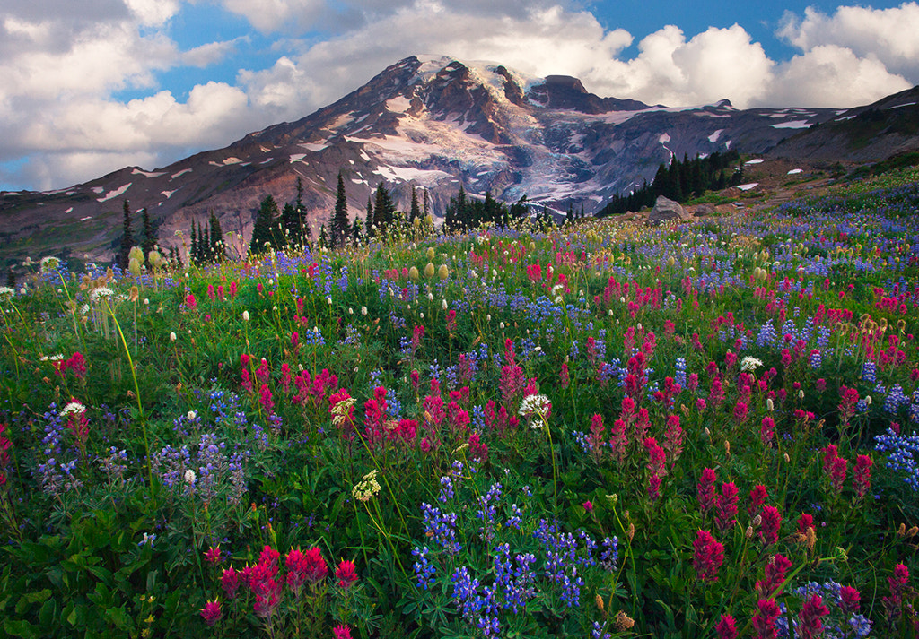 Photograph Mount Rainier Paradise Wildflowers by Kevin McNeal on 500px