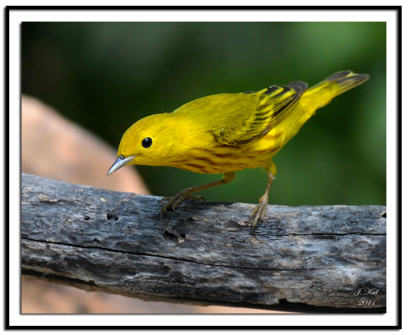 Photograph Yellow Warbler by Jimmy Kall on 500px