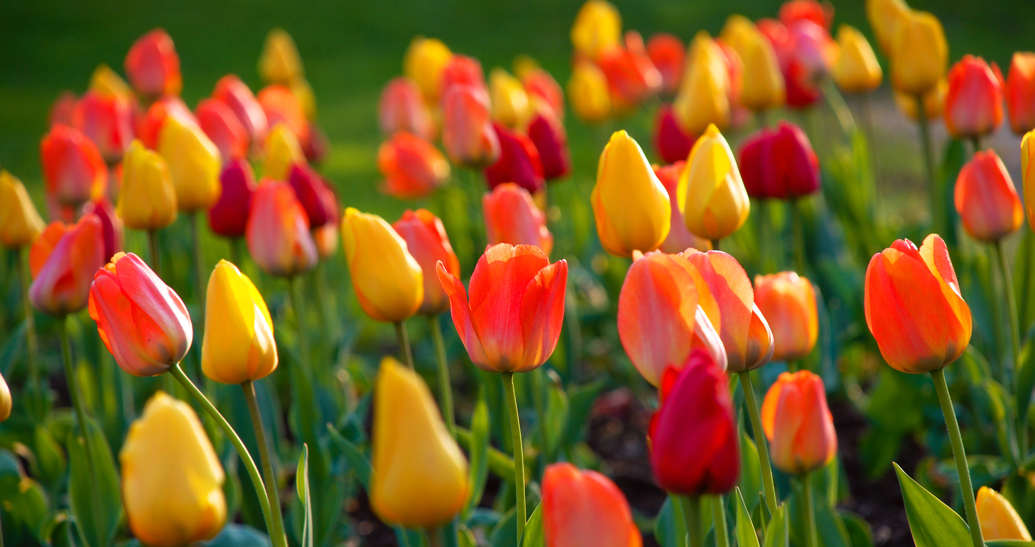 Photograph Tulips by Curtiss Simpson on 500px