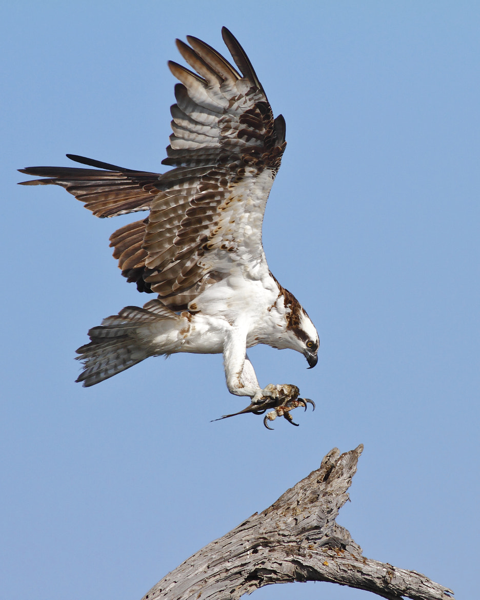 Photograph Osprey landing with a fish by Salah Baazizi on 500px