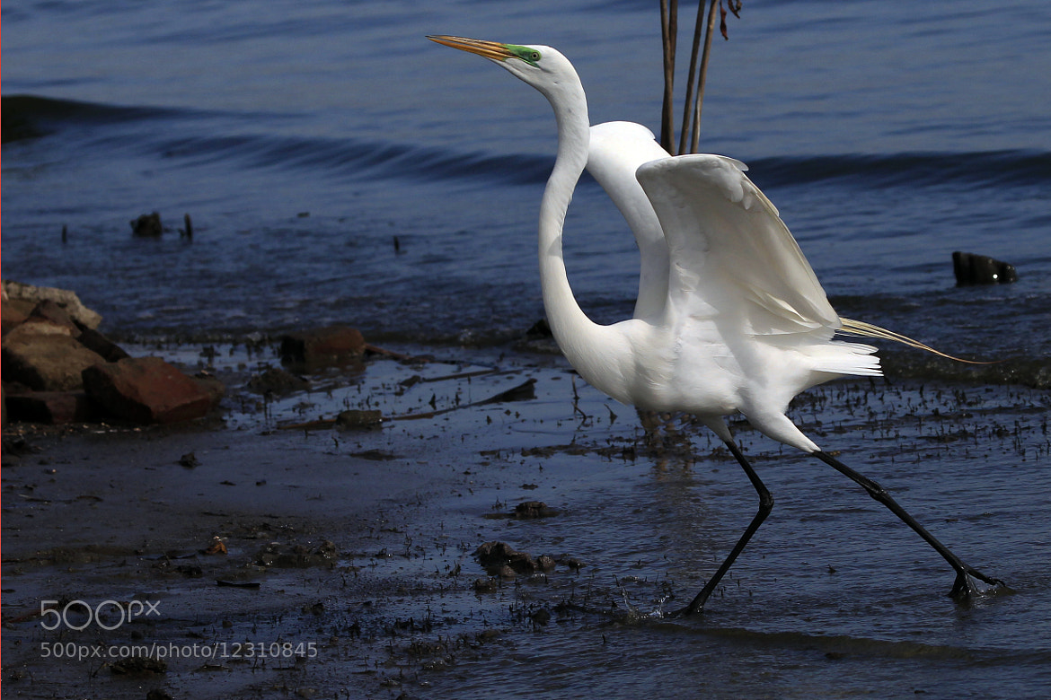 Photograph Great Egret March by Cristobal Garciaferro Rubio on 500px