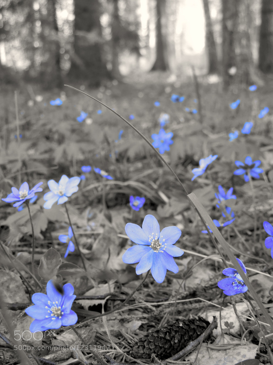 Photograph Spring wood in blue by Eva Bjursten on 500px
