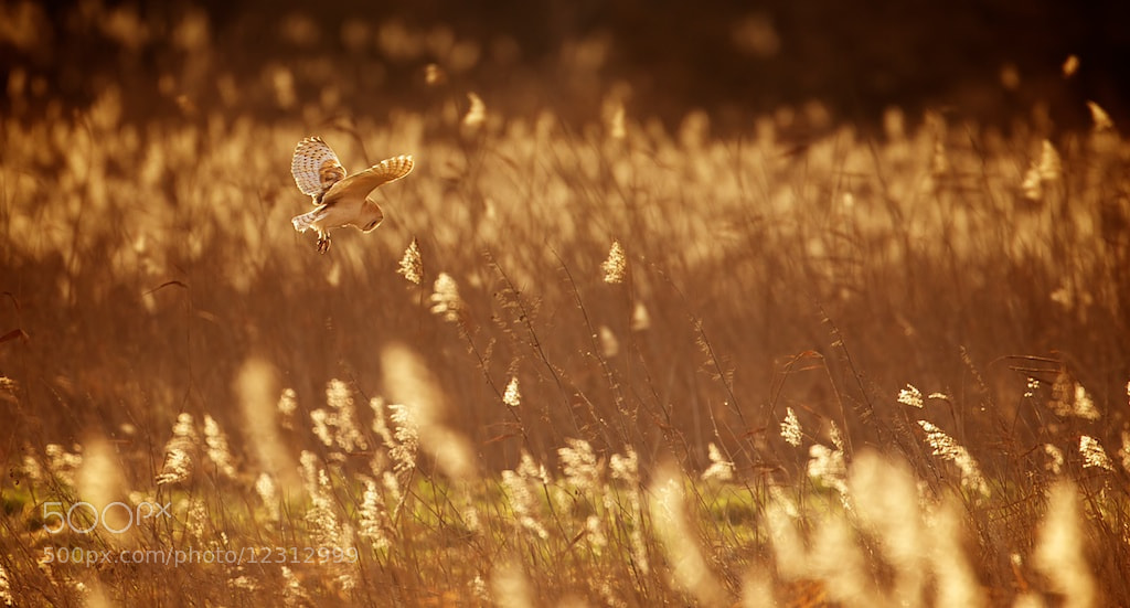 Photograph golden by Mark Bridger on 500px