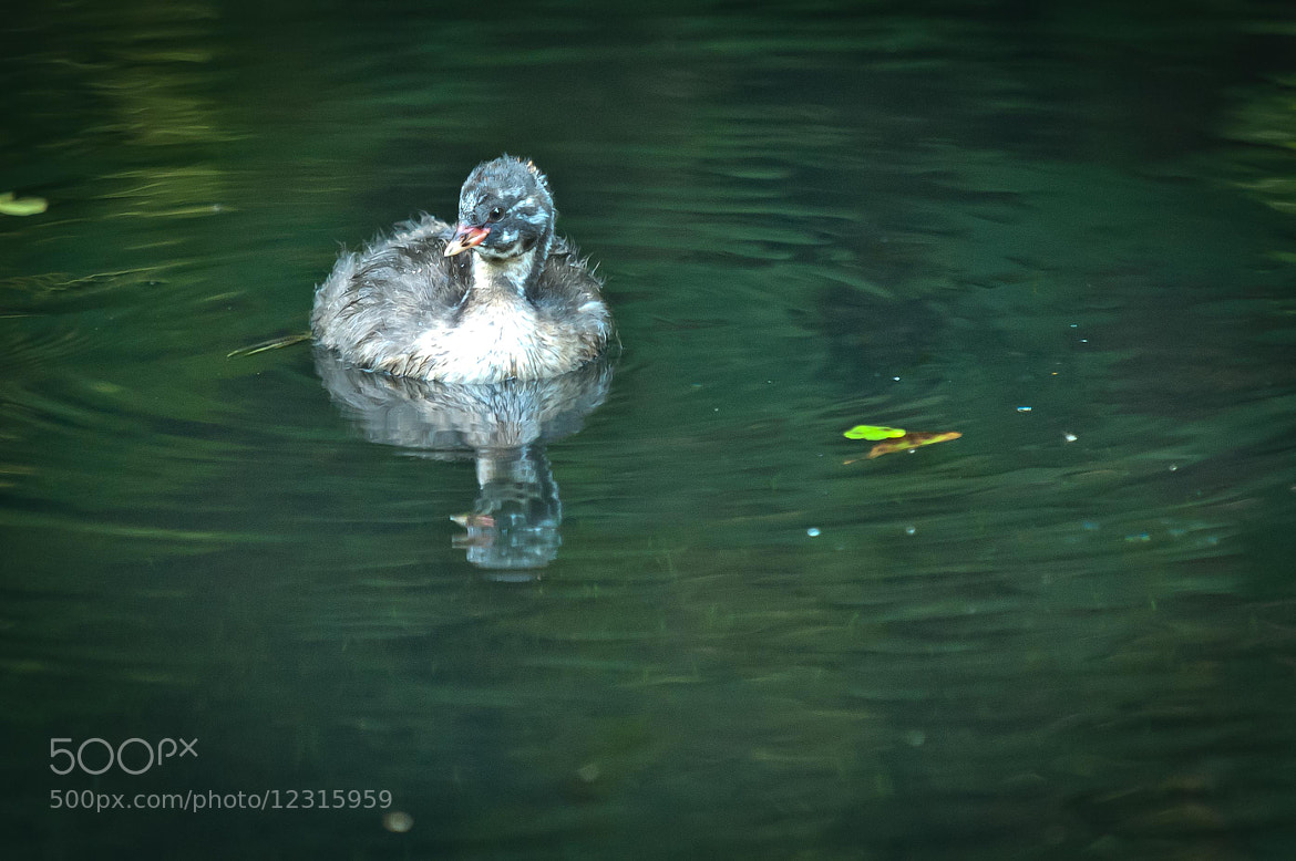 Photograph Little Grebe by Steve Wood on 500px
