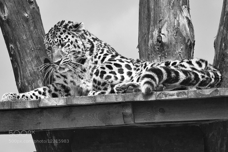 Photograph Amur Leopard by Steve Wood on 500px