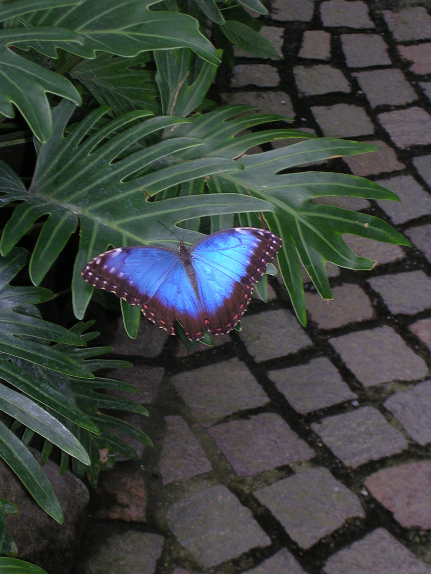 Photograph Blue butterfly in Mainau... by Céline Manin on 500px