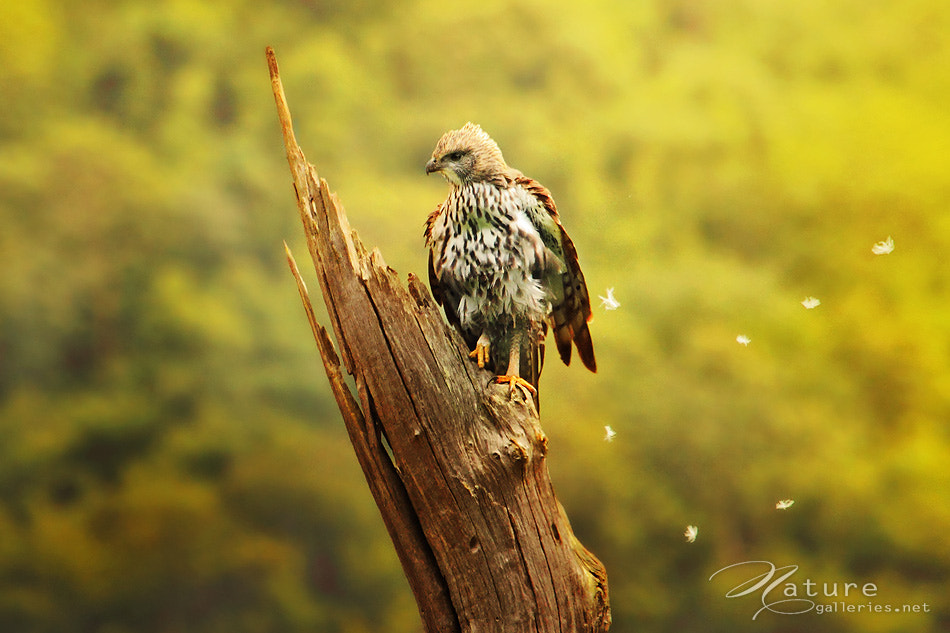 Photograph Changeable Hawk Eagle by Sasi - smit on 500px