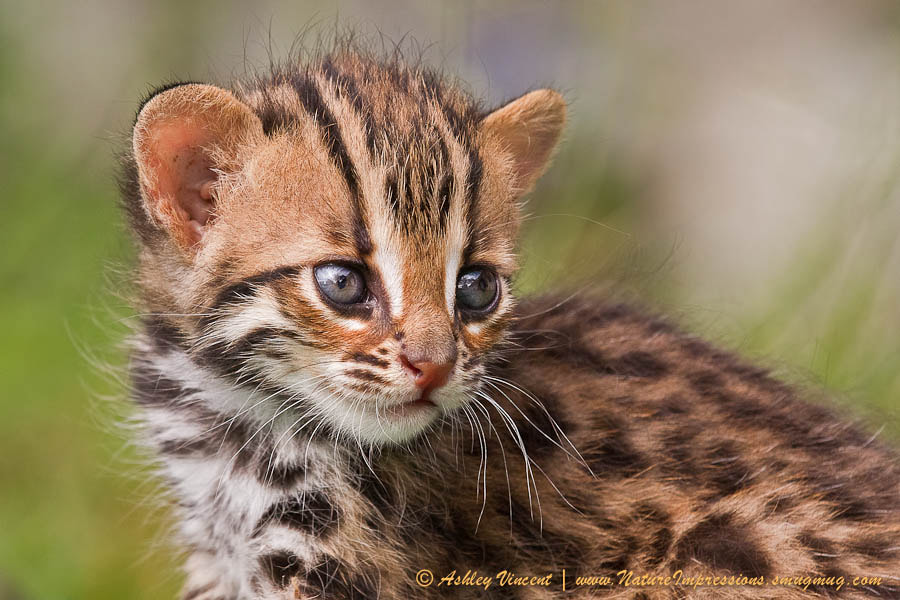 Photograph Miniature Leopard by Ashley Vincent on 500px