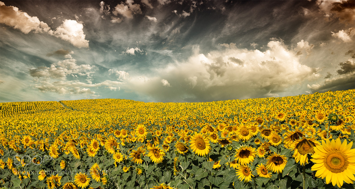Photograph Provence sunflowers  by Marco Carmassi on 500px