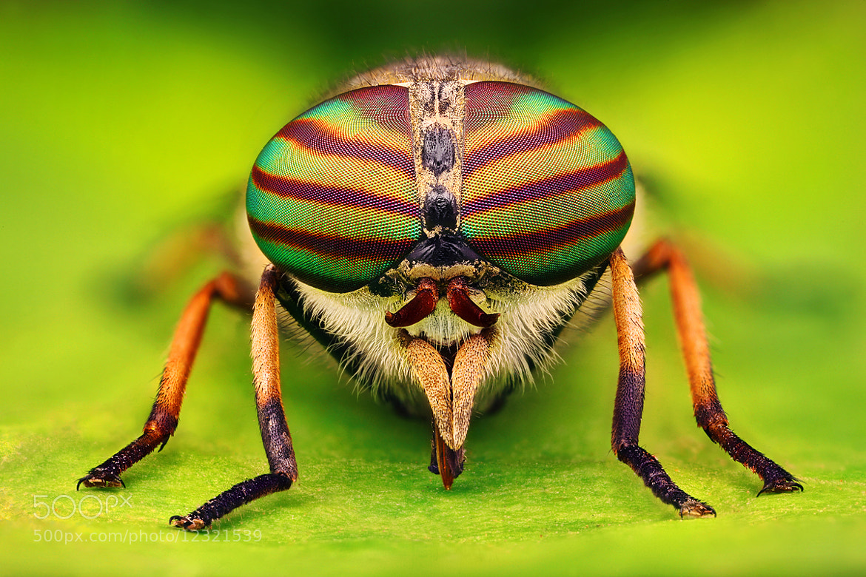Photograph Tabanus bovinus (Horsefly) by Kvejlend (Dusan Beno) on 500px