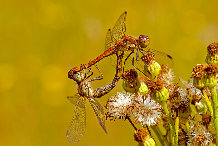 Photograph Dragonflies by Raymond Friederichs on 500px