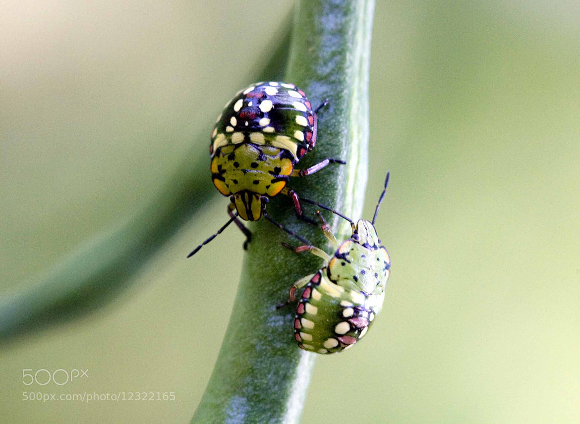 Photograph  bugs in love by Luciano Sollazzi on 500px