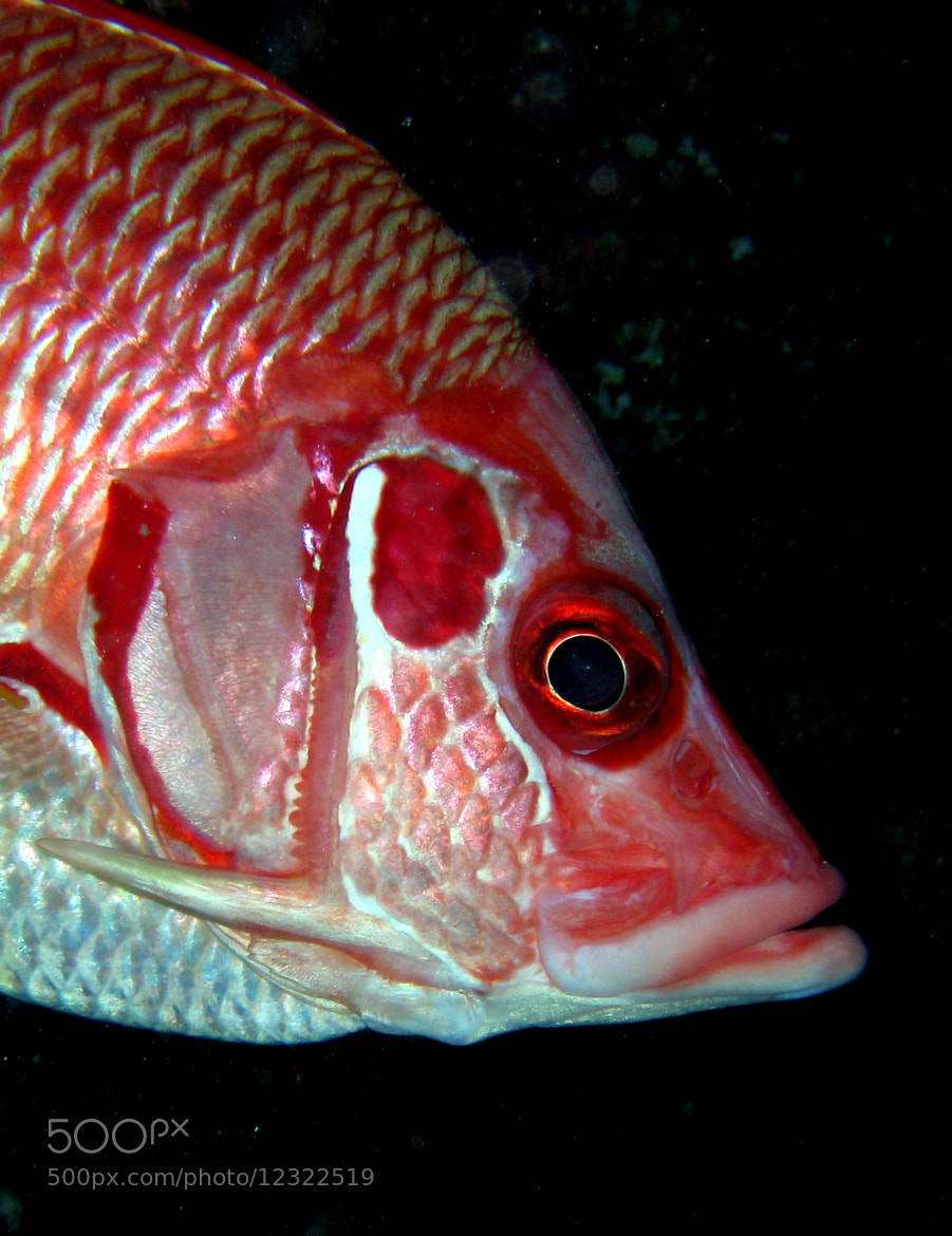 Photograph Squirrelfish by Luigi Sanna on 500px