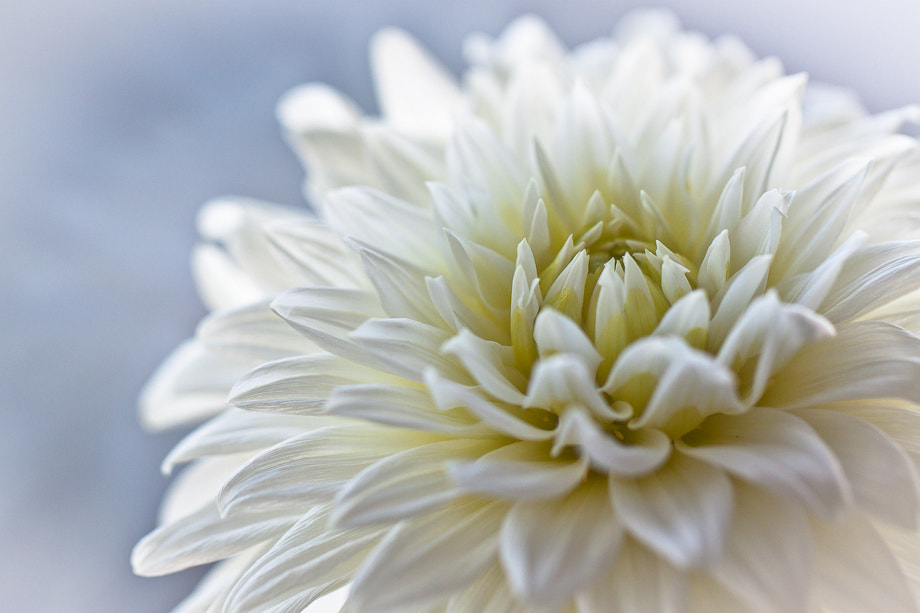 Photograph dahlia white by Marion Fanieng on 500px