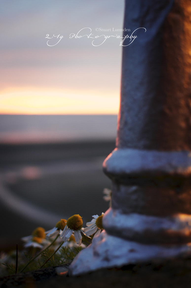 Photograph Daisy's At Dusk by Stuart Lumsden on 500px