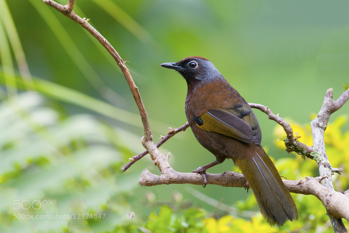 Photograph Chestnut Crowned Laughing Thrush by Allan Seah on 500px