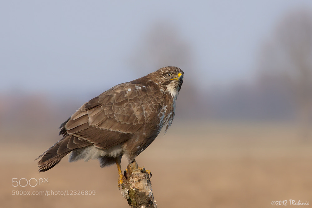 Photograph Common Buzzard by Tomica Rubinić on 500px