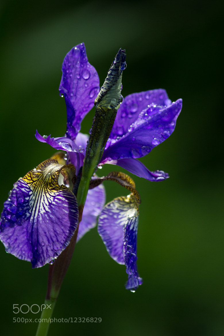 Photograph Purple Flower 3 by Maite Monica Lovring on 500px