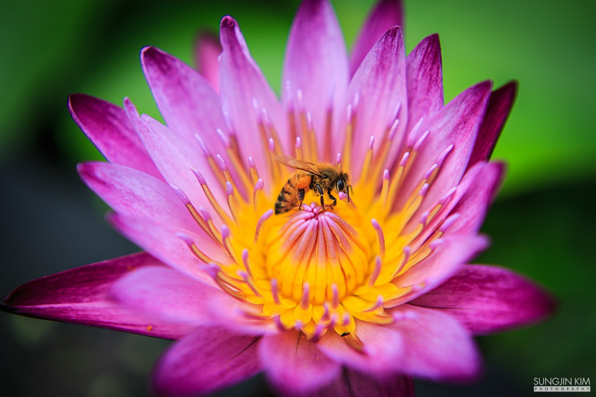 Photograph Water lily and bee by Sungjin Kim on 500px