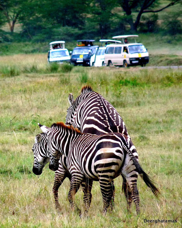 Zebras mating - photo#34
