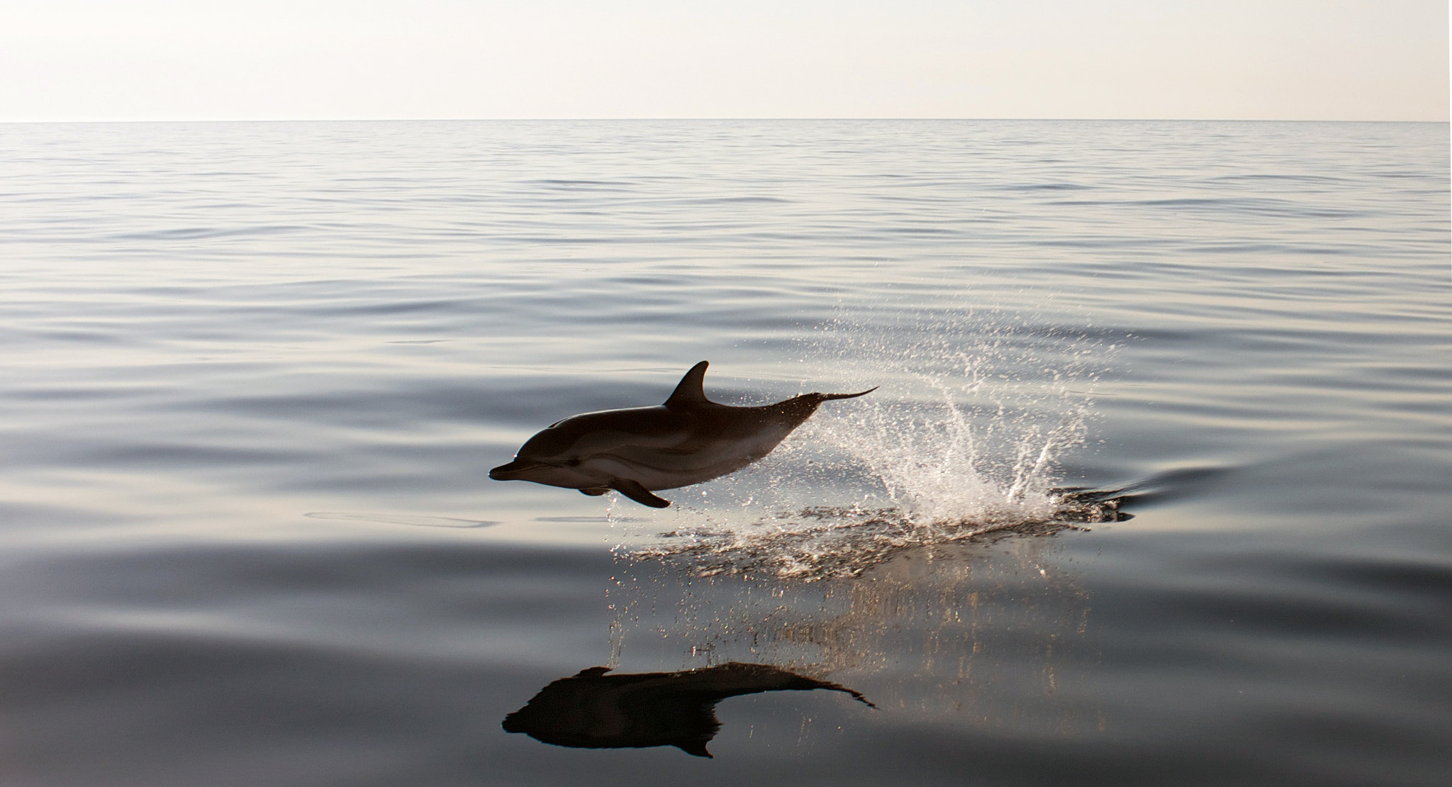 Photograph Flying Dolphin in the evening by Kostas K on 500px