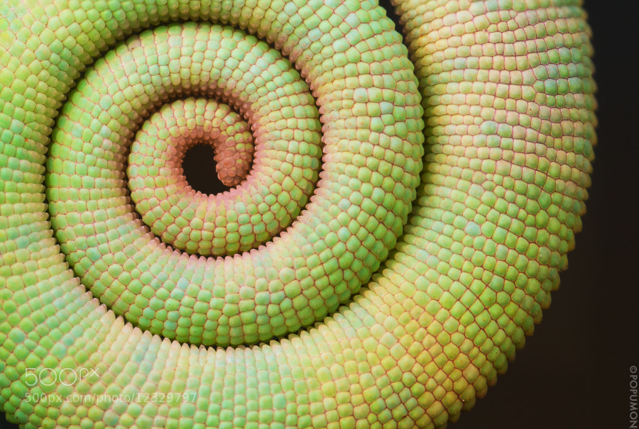 Photograph SPIRAL (Chameleon tail) by POPUMON TiH on 500px