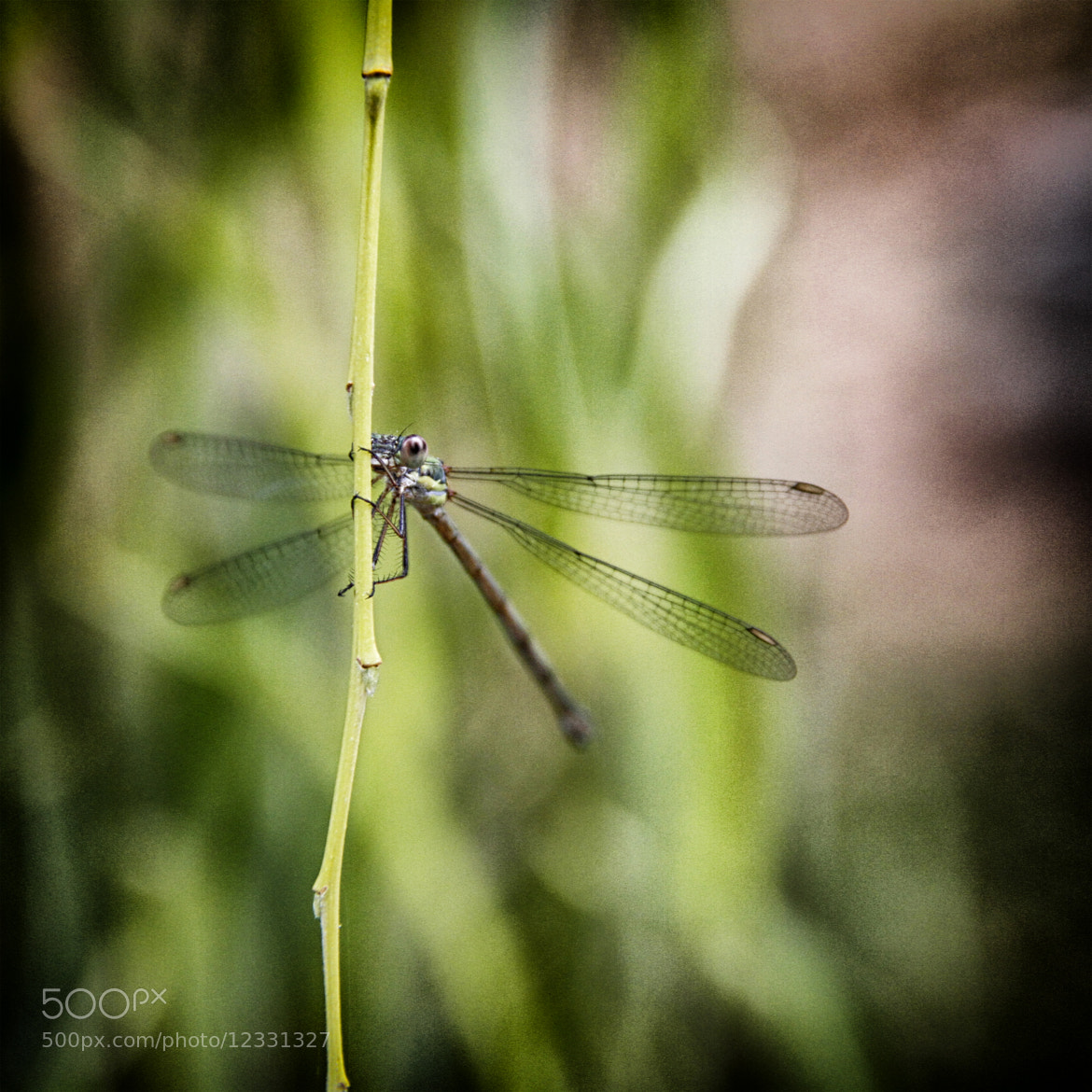Photograph Romantic Dragonfly - Libélula Romántica by Ivan Blanco  on 500px