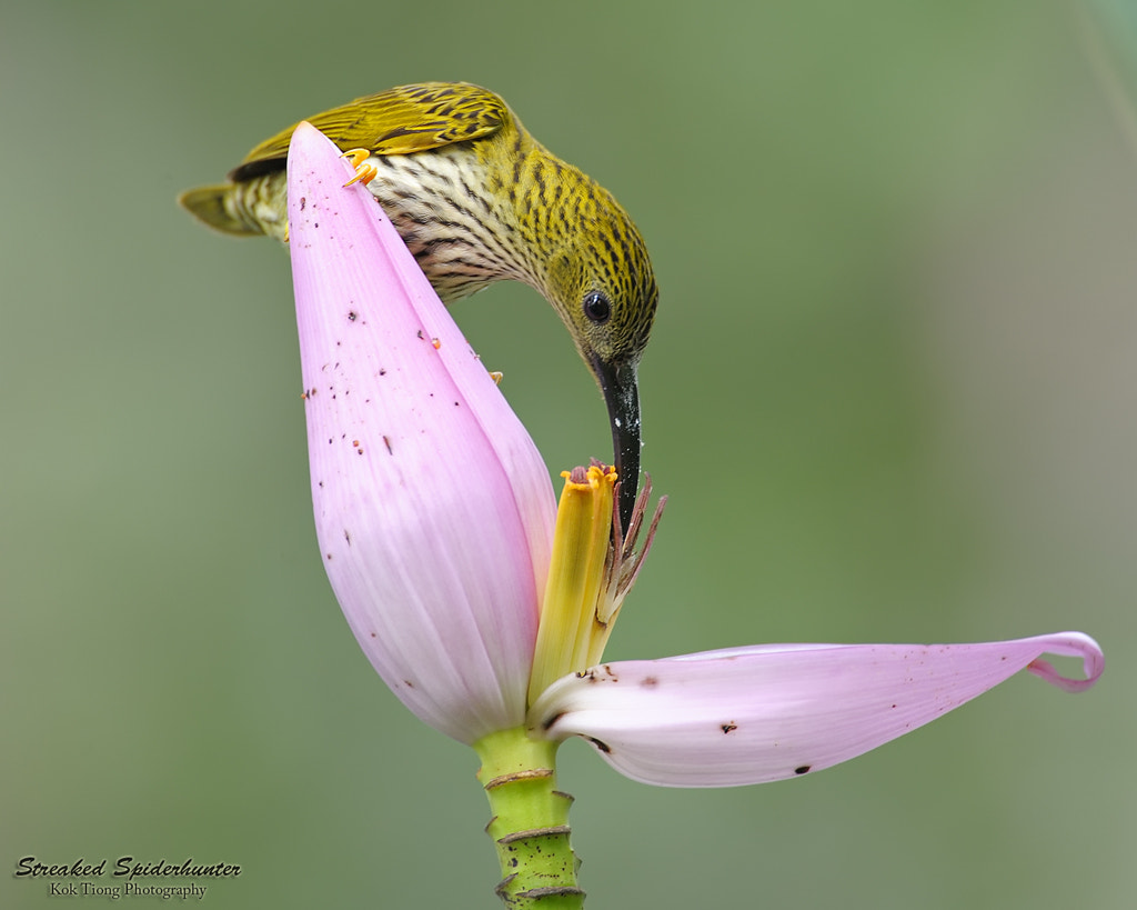 Photograph Streaked Spiderhunter by KokTiong on 500px