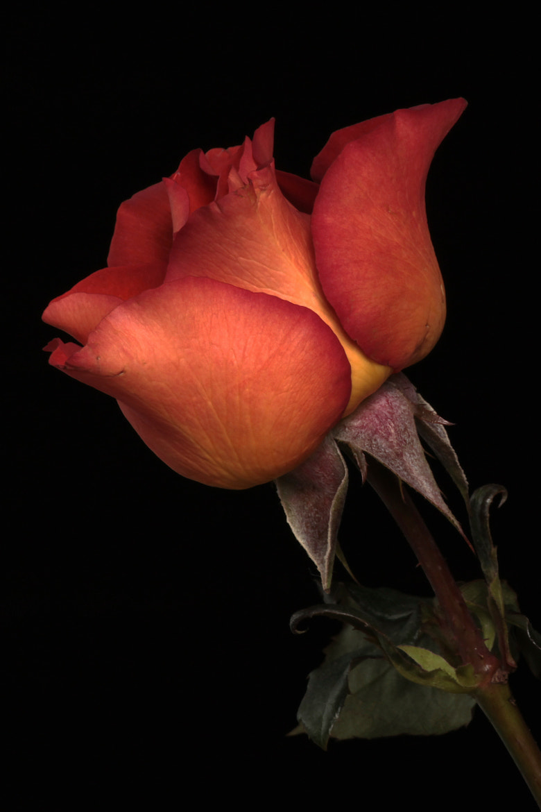 Photograph Rose in Shedron color by Cristobal Garciaferro Rubio on 500px