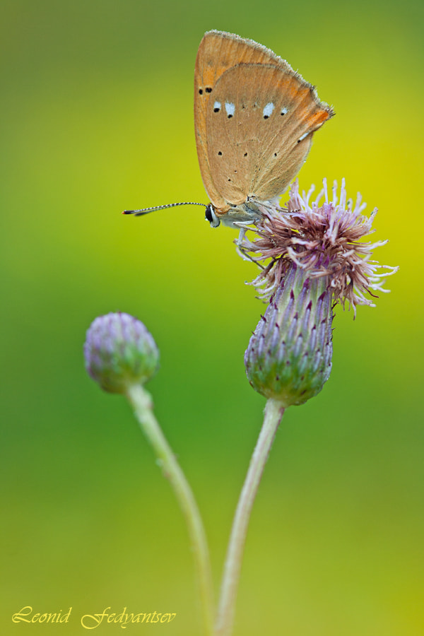 Photograph Scetch With Scarce Copper by Leonid Fedyantsev on 500px
