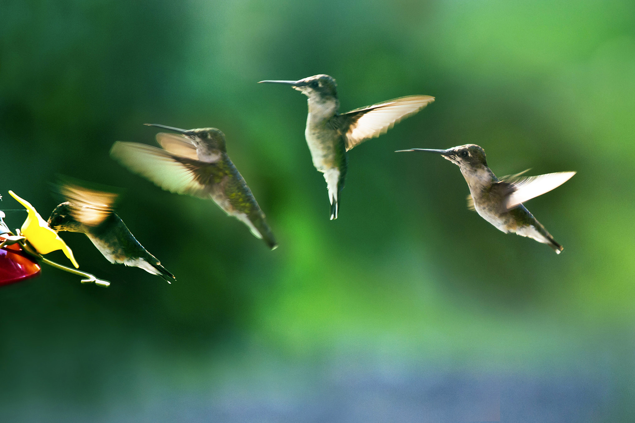 Photograph Flight of the Hummingbird by Jo Hendley on 500px