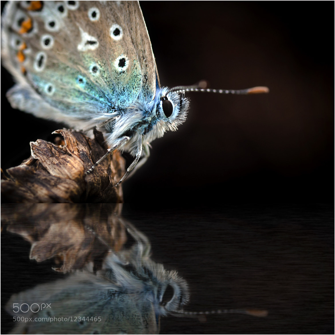 Photograph Common Blue Butterfly by Mark Shoesmith on 500px