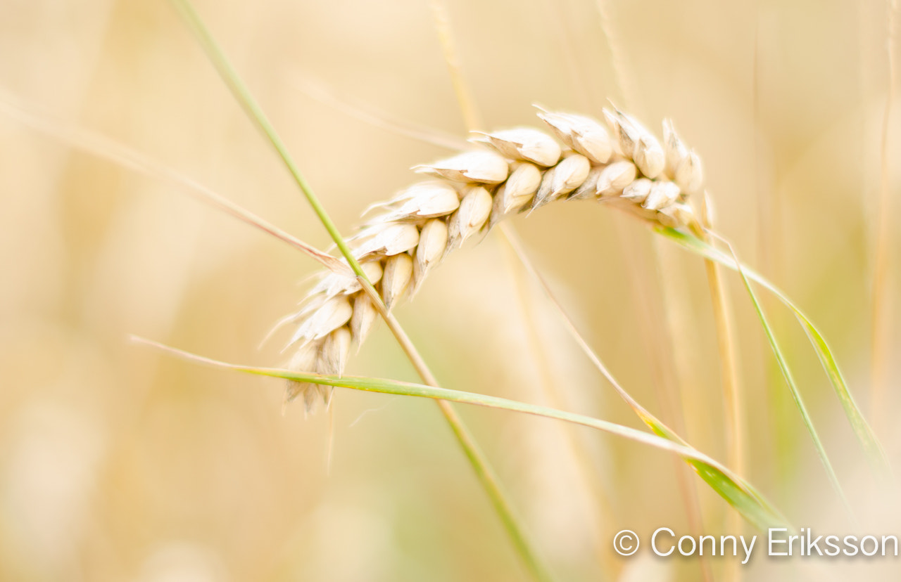 Photograph Oats by Conny Eriksson on 500px