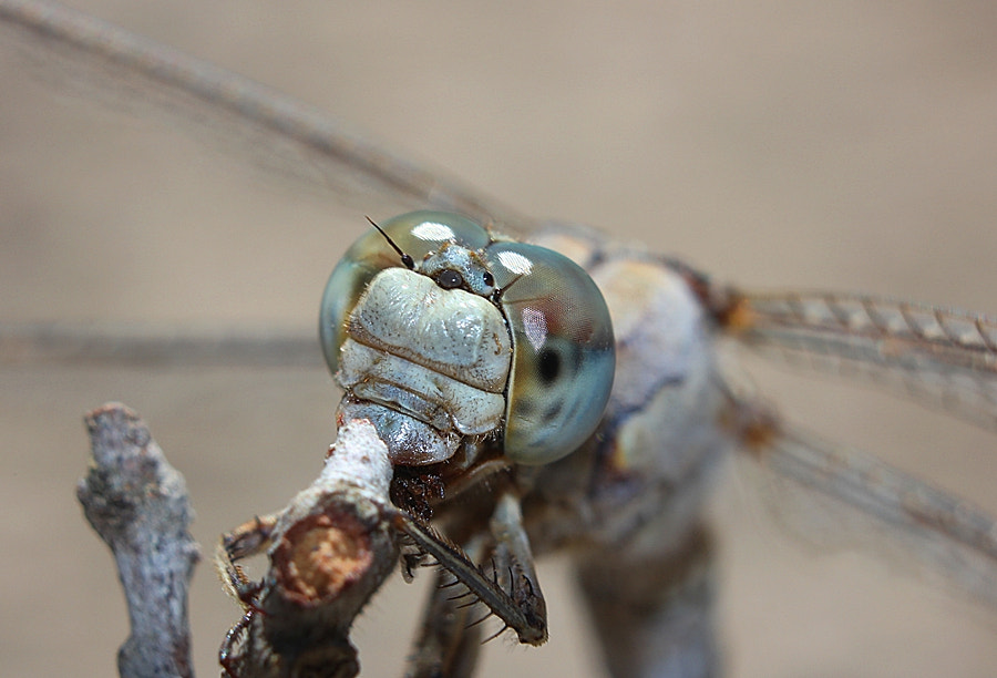 Photograph Dragonfly by Ayhan Korkmaz on 500px