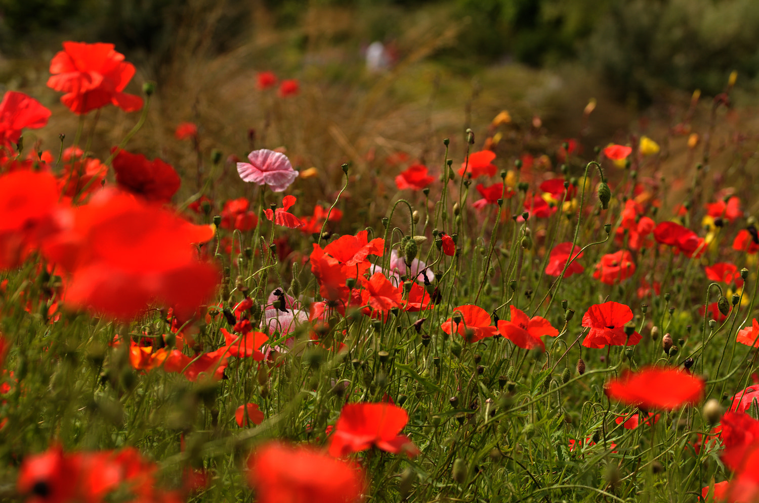 Photograph Summer poppies by Bob  Guildford on 500px