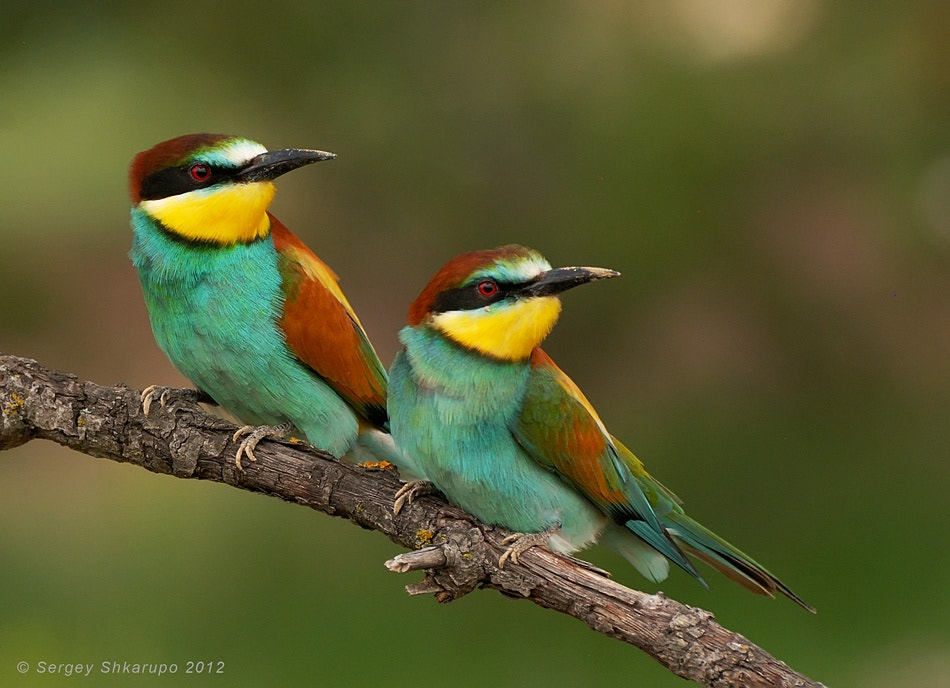 Photograph European Bee-eaters by Sergey Shkarupo on 500px