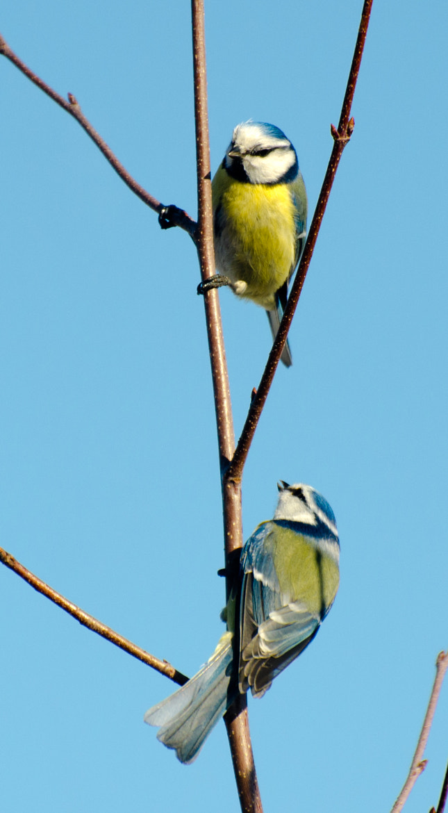 Photograph Blue Tits by Torbjörn Lundquist on 500px