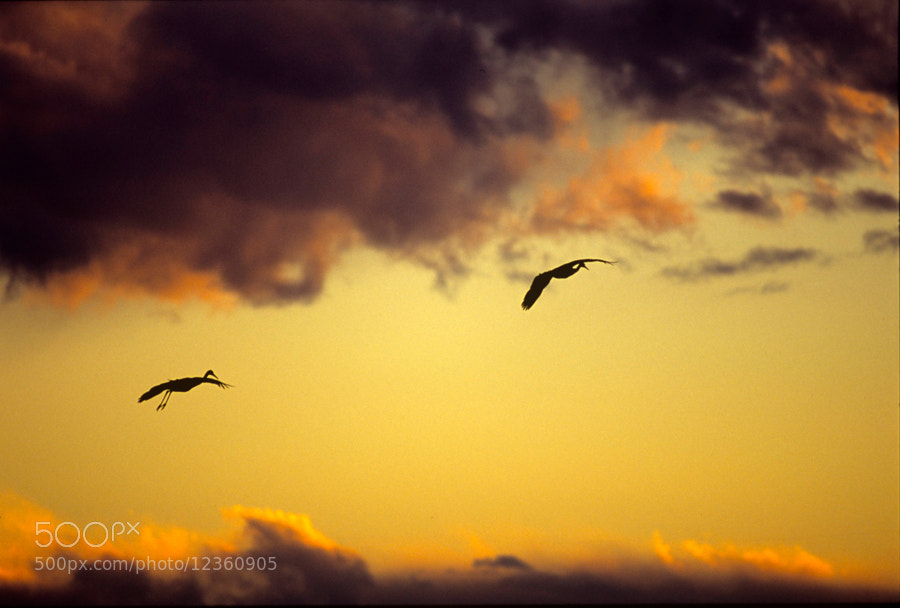 Photograph Sandhill Cranes by Rick Skillin on 500px