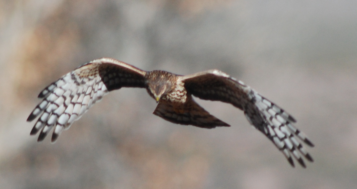 Photograph Northern Harrier by Rick Skillin on 500px