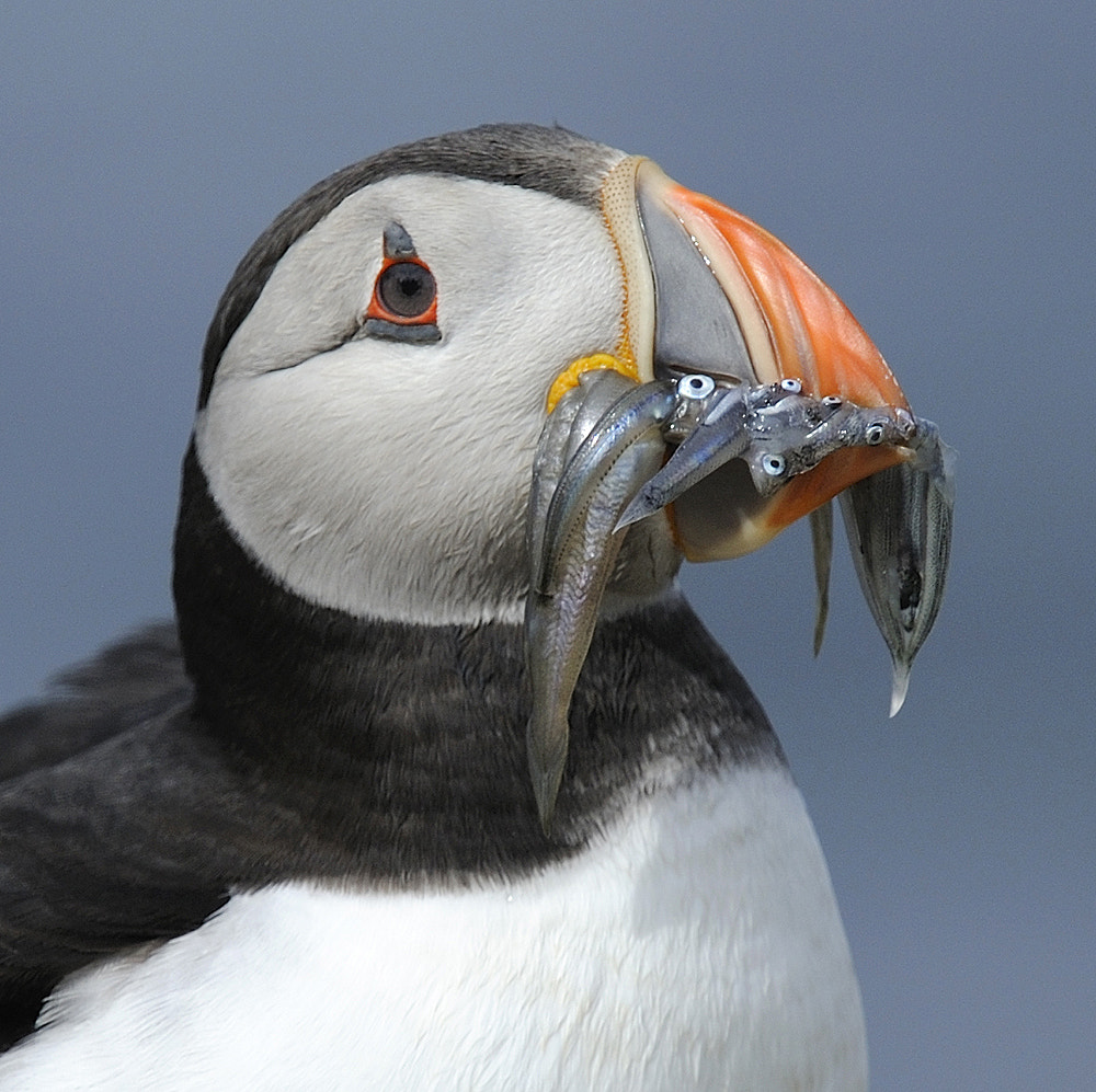 Photograph Puffin ( Fratercula arctica ) by Kevin  Keatley on 500px